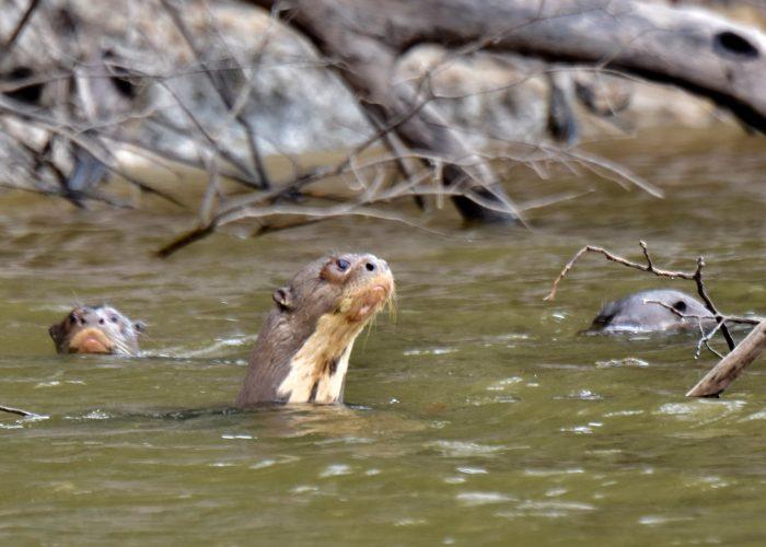 River Otters Amazon Bucket List Fly Fishing