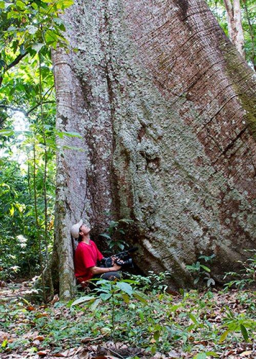 giant kapok tree - primary rainforest - Tapajos National Forest - Brazilian Amazon
